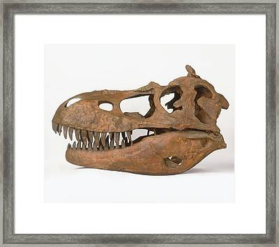 Skull Of Albertosaurus Framed Print