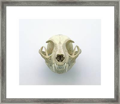 Skull Of Domestic Cat Framed Print