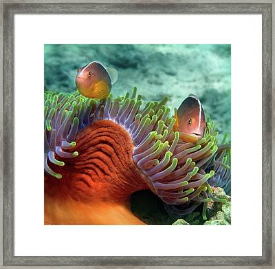 Skunk Anemonefish And Indian Bulb Framed Print by Panoramic Images