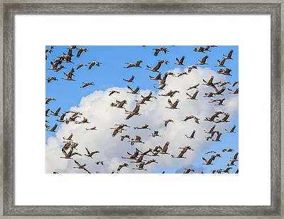 Skyful Of Cranes Framed Print by Beverly Parks