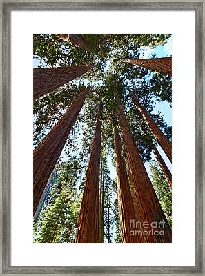 Skyscrapers - A Grove Of Giant Sequoia Trees In Sequoia National Park In California Framed Print