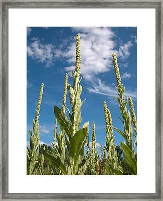 Skyward Mulleins Framed Print