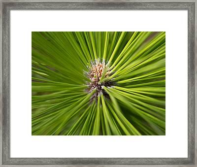 Slash Pine Needles 2 Framed Print