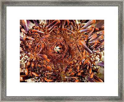 Slate Pencil Urchin Framed Print by Natural History Museum, London
