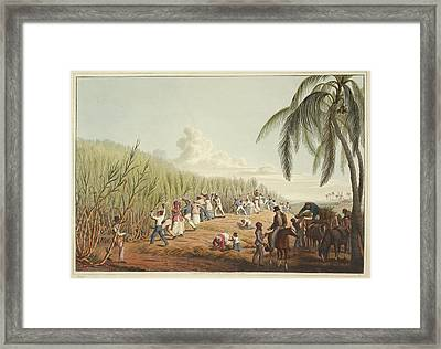 Slaves Cutting The Sugar Cane Framed Print
