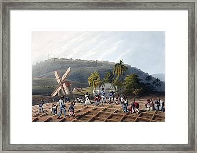 Slaves Planting Sugar Cane, 19th Century Framed Print