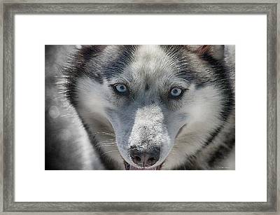 Framed Print featuring the photograph Sled Dog  by Dennis Baswell