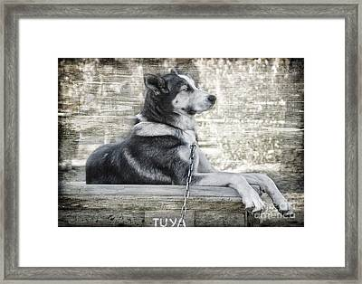 Framed Print featuring the photograph Tuya - Sled Dog Of Denali by Dyle   Warren