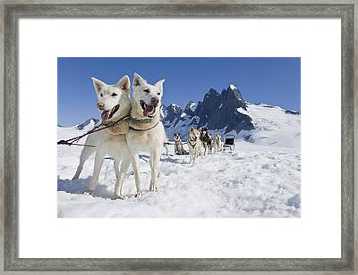 Sled Dog Team Standing On The Juneau Framed Print