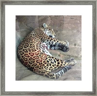 Sleep Time Jaguar Framed Print by Gary Govett