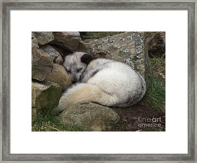 Sleeping Arctic Fox Framed Print
