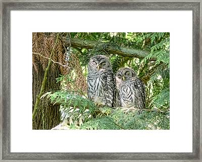 Sleeping Barred Owlets Framed Print by Jennie Marie Schell