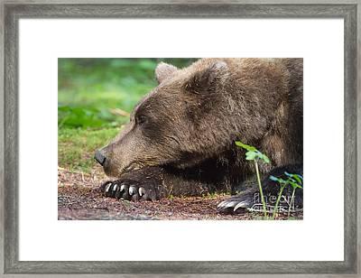 Sleeping Bear Framed Print