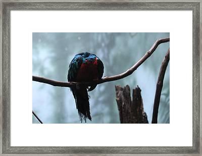 Sleeping Blue Bird Framed Print