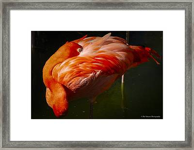 Framed Print featuring the photograph Sleeping Flamingo by Phil Abrams