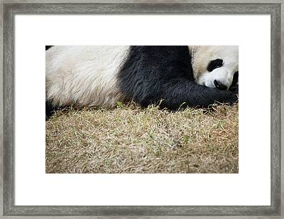 Sleeping Giant Panda Framed Print by Pan Xunbin