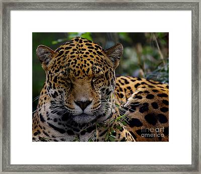 Sleeping Jaguar Framed Print