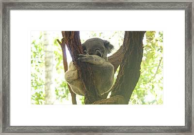 Sleeping Koala In Tree Framed Print