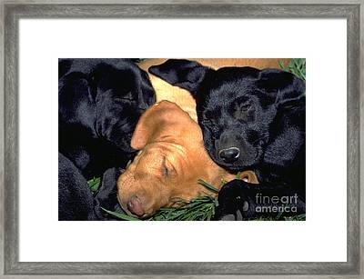 Sleeping Labrador Retriever Puppies 8 Framed Print by William H. Mullins