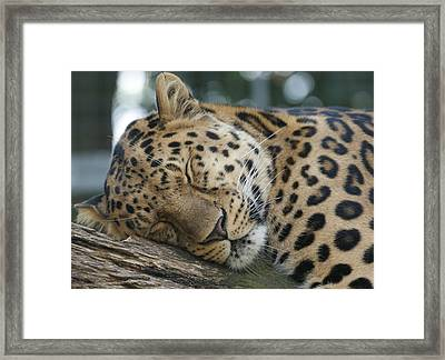 Sleeping Leopard Framed Print
