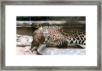 Sleeping Leopard Framed Print by Gautam Gupta