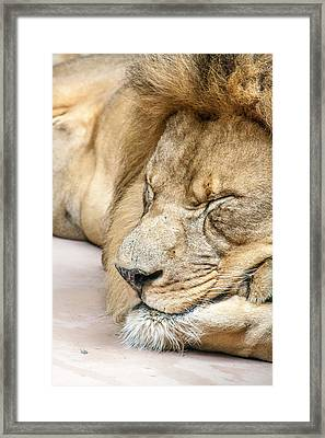 Sleeping Lion Framed Print
