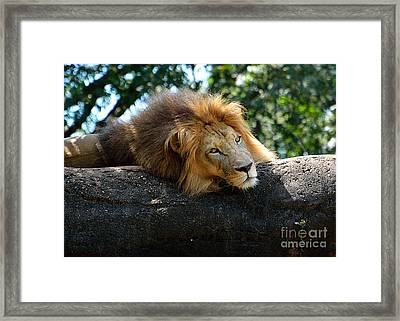 Framed Print featuring the photograph Thinking Lion by Lisa L Silva