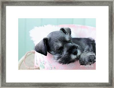 Sleeping Mini Schnauzer Framed Print by Stephanie Frey
