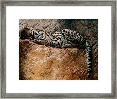 Sleeping Ocelot Framed Print by Chris Flees