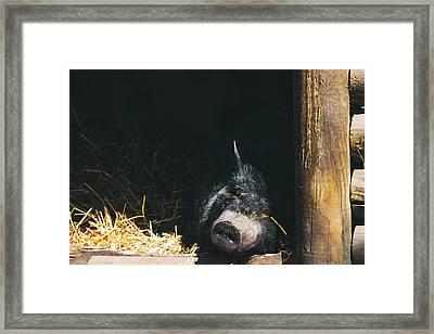 Sleeping Potbelly Pig Framed Print