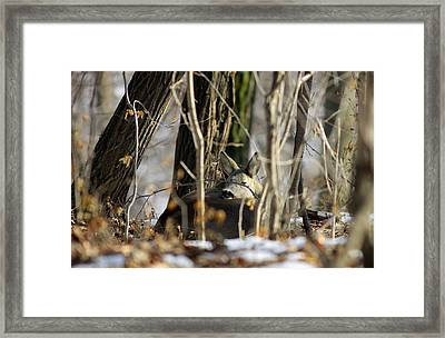 Sleeping Roe Deer Framed Print