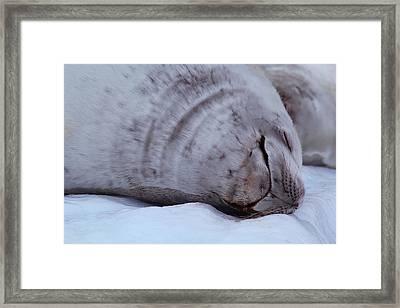 Sleeping Seal Framed Print