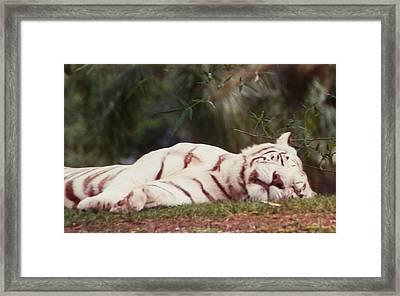 Sleeping White Snow Tiger Framed Print