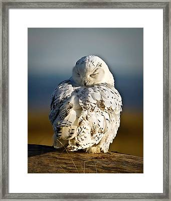 Sleeping Snowy Owl Framed Print by Steve McKinzie