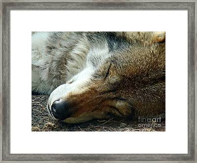 Sleeping Wolf Framed Print