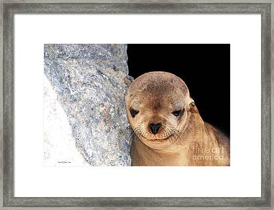 Sleepy Baby Sea Lion Framed Print