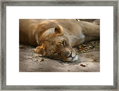 Sleepy Lioness Framed Print by Ann Lauwers