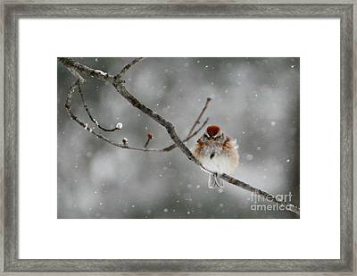 Sleepy Little Sparrow Framed Print