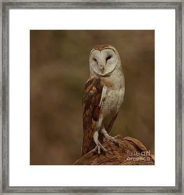 Sleepy Morning Barn Owl Framed Print by Inspired Nature Photography Fine Art Photography