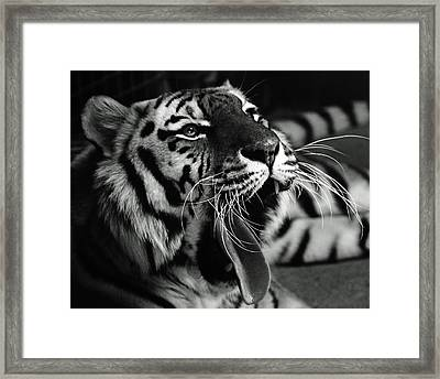 Sleepy Tiger Framed Print by Martin Newman