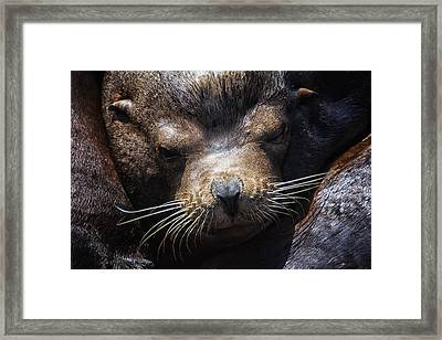 Sleepyhead Sea Lion Framed Print by Mark Kiver