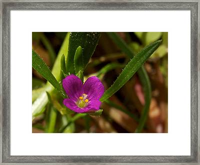 Slender Clarkia In Park Sierra-ca Framed Print by Ruth Hager