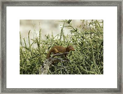Slender Mongoose Framed Print by Tony Camacho/science Photo Library