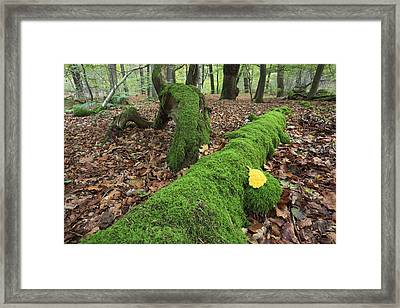 Slime Mold With Moss In Beech Forest Framed Print by Heike Odermatt