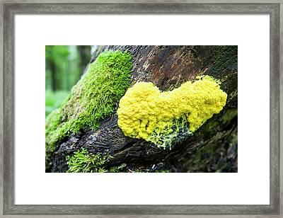 Slime Mould On A Tree Stump Framed Print