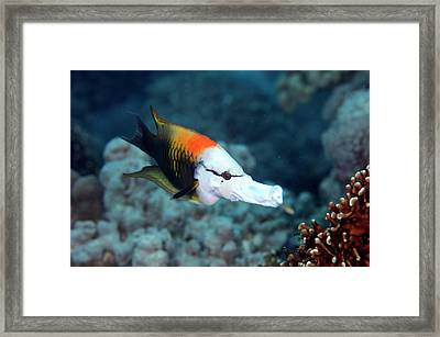 Sling-jaw Wrasse Framed Print by Scubazoo