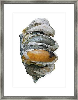 Slipper Limpets Framed Print by Natural History Museum, London