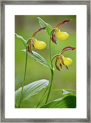 Slipper Orchid (cypripedium Calceolus) Framed Print by Bob Gibbons