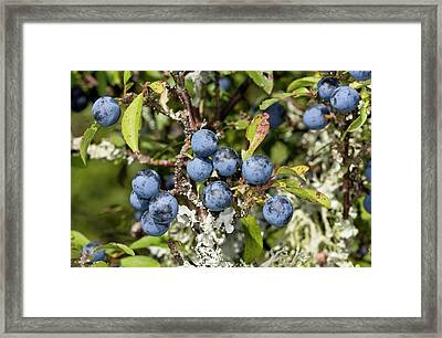 Sloe Berries Framed Print by Bob Gibbons