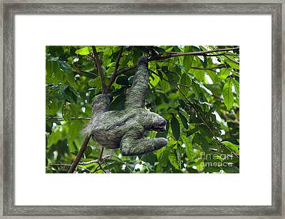 Sloth 8 Framed Print by Arterra Picture Library